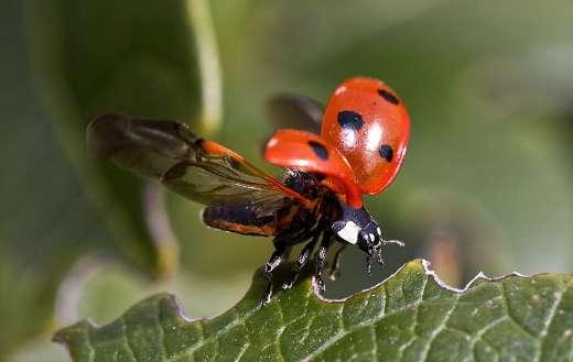 Beetle ladybug online