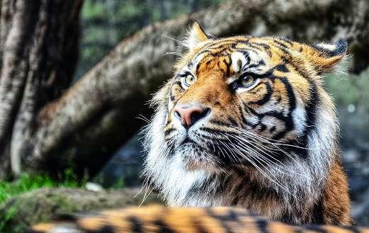 Bengal tiger puzzle