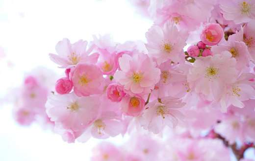 Branch of pink cherry blossoms flowers