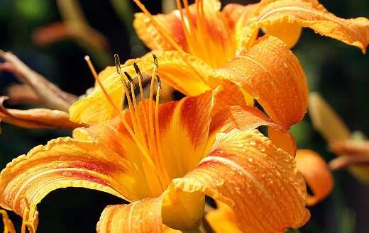 Dewdrops orange lilies petals online