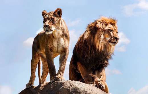 East african lions online