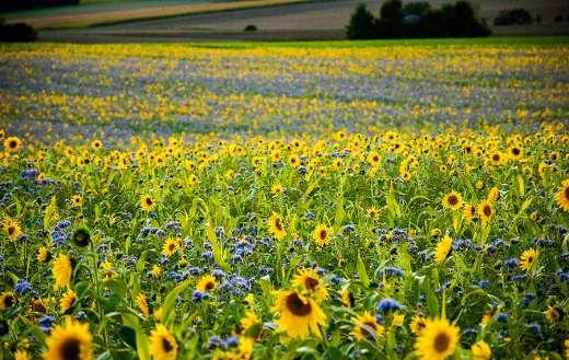 Nature field sunflowers phacelia puzzle