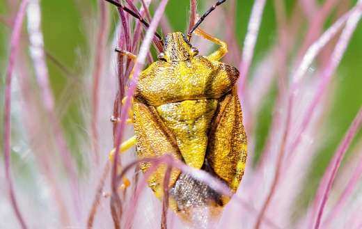 Shield stink plant bug insect