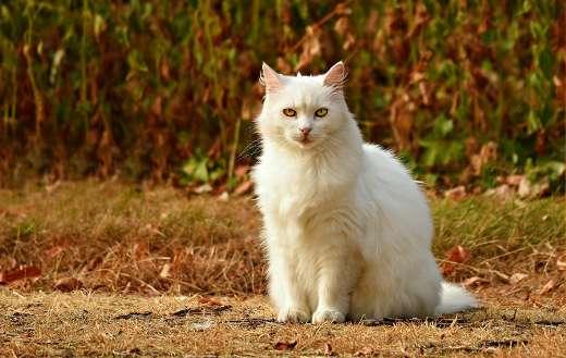 White hairy cat online