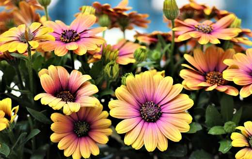 African daisies flowers with yellow petals