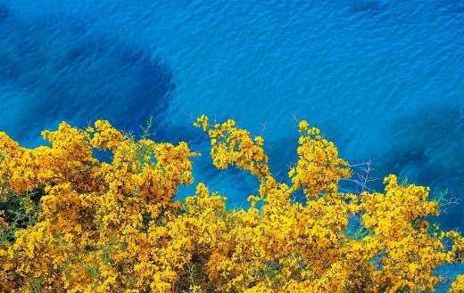 Coast sea yellow flower bloom online
