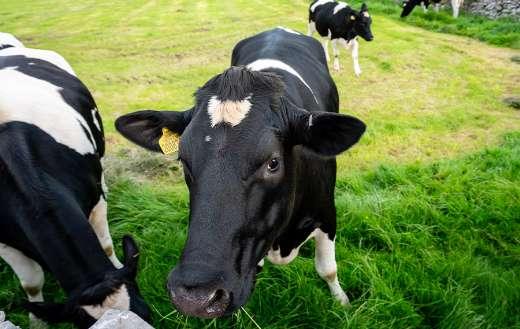 Cow cattle farm online