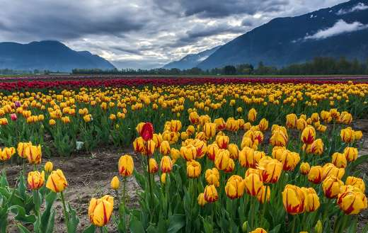 Field of yellow and red tulips online