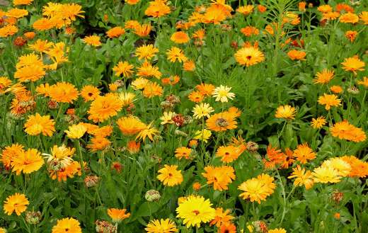 Garden yellow marigolds flowers