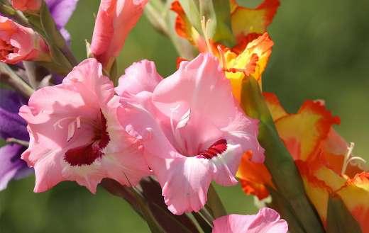 Gladiolus flowers online