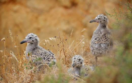 Seagull chicks baby young birds puzzle