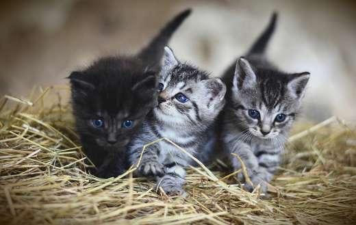 Three fur kittens puzzle