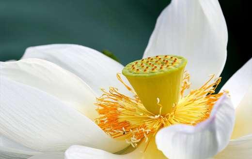 White lotus flower online