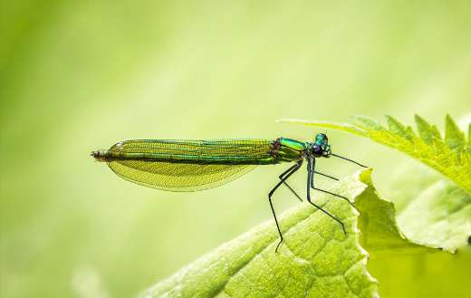 Winged insect banded demoiselle damselfly