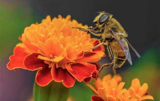 Bee pollinate pollination flower