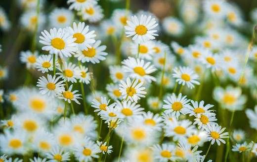 Common white daisies flowers