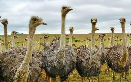 Group of ostrich bird online