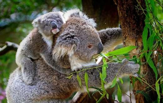 Koalas wildlife animals online