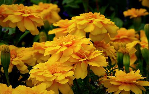 Marigolds flowers online
