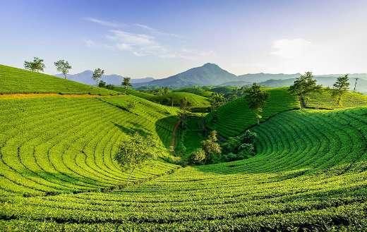 Mountain hill tea online