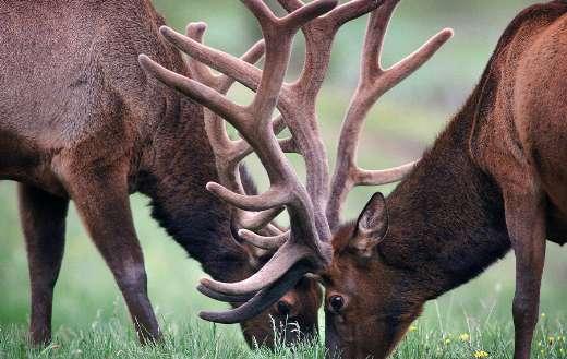 Pair deers eat grass online