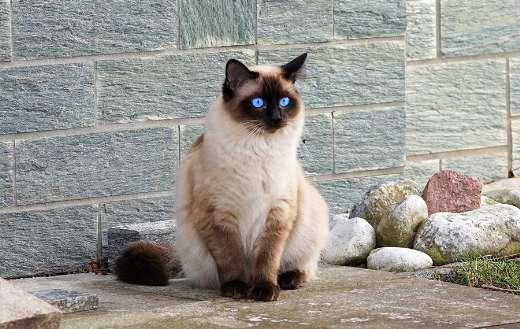 Siamese cat online