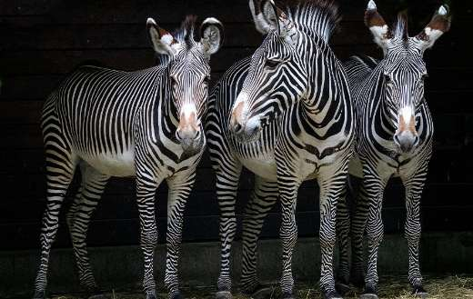 Three stripes black and white zebras