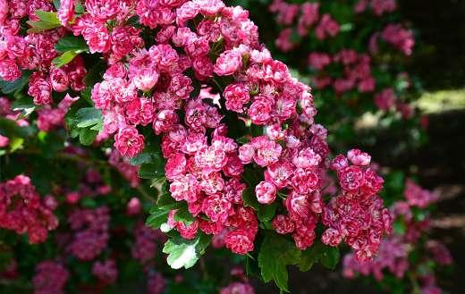 Tree pink flowers blossom