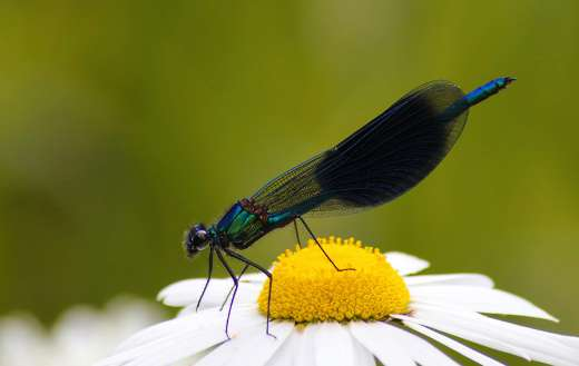 Banded demoiselle dragonfly puzzle