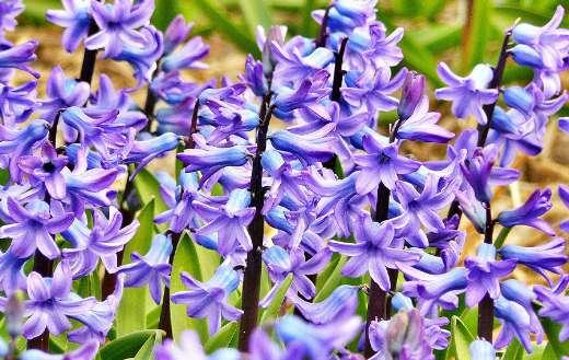 Beautiful purple flowers puzzle