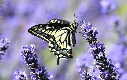 Black white butterfly flower pollination