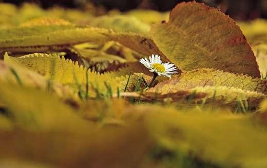 Daisy flower autumn leaves