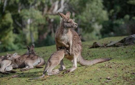Eastern grey kangaroo online
