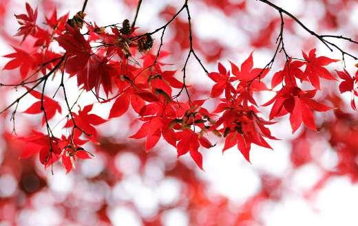 Maple leaves foliage puzzle