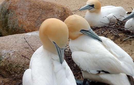 Northern gannet water birds puzzle