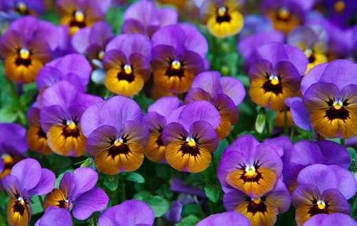 Pansy purple flower online