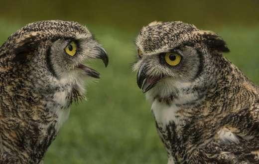 Two owl birds online